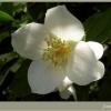 А цветок жасмина всегда красивый? Что он означает на языке цветов?