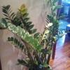 У пахистахиса скручиваются листья. Полив умеренный, опрыскивание ежедневные