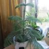 Почему растение назвали камелия?