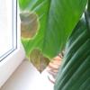 Можно ли посадить циперус в горшок без дырок?