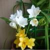 А у вас был опыт выращивания дома фрезии или крокусов? И какой он, этот ваш опыт? )
