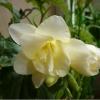 Лилии с о стеблем 8-10 см., если посадить сейчас, они не погибнут зимой и будут жизнеспособные в сл