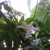 Помогите начил сбрасывать листя фикус бенжомен