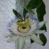 У кого-нибудь цвела пассифлора, выращенная из семян?