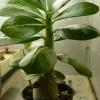 Герань: 1.на листьях тонкие коричневые пятна 2. Чтоб росла кустом, не вытягивалась - что делать?