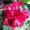 Уменя распустился гибискус, цвел 2 дня потом цветки закрылись и начали сохнуть