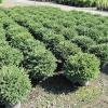 Агротехнические приемы выращивания ели нидиформис