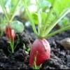 Агротехника редиса, повышение урожайности редиса