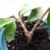 Ананас! У кого получалось вырастить ананас (самому, не высылайте вырезки из инета)?