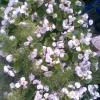 Фикус бенджамина сбросил все листья (или засыхает)