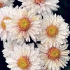 Какие сорта хризантемы и георгина? Чем отличаются они друг от друга?