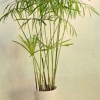 Хочу купить циперус папирус? Он по уходу сильно отличается от очереднолистного?