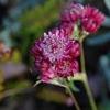 Астранция (astrantia) – очень декоративный многолетний травянистый представитель семейства зонтичных (umbelliferae), условия произрастания