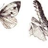 Бабочки вредители капусты: капустная белянка и капустная совка
