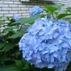 Можно ли покрасить цветки гортензии в голубой цвет, или это сортовые особенности?