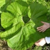 Белокопытник в саду, особенности культуры и агротехника