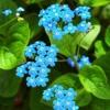 Бруннера: выращивание бруннеры, виды бруннеры