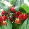 Церападус в саду, гибрид вишни и черёмухи, биологические особенности, опыт выращивания