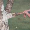 Чем и как покрасить штамбы плодовых деревьев для защиты от солнечных ожогов и вредителей
