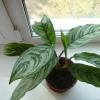 Взяла отросток аглаонемы, посадила, а у неё начали желтеть и отмирать листья!