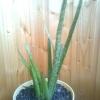 Чем примечательно растение белая акация и есть ли такое вообще?