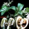 Семена хамедореи?