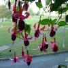 Какие правила ухода (полив, солнце, почва, перезимовка и пр.) для рододендрона (не цветет пока?
