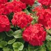 Чем подкормить герань для пышного цветения?