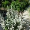 Чистец, бараньи уши в дизайне сада, условия произрастания и агротехника