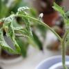 Что делать, если у рассады томатов начали вянуть листья?
