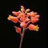 Как рассадить лилии?