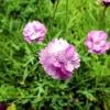 Что нужно знать о посадке гвоздики альпийской и уходе за цветами?