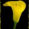Что означают каллы на языке цветов и что можно написать на открытке в приложении к цветам, в