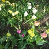 Посеяла семена хризантемы, взошли дружно, вот как дальше с ними быть?