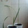 Как вырастить ананас!
