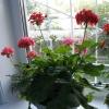 У циперуса в зонтиках выросли как будто отдельные растения. Что с ними делать?