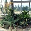 Что за растение - мыльное алоэ? Его фото? Каковы целебные свойства?