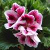 В чем разница между геранью и пеларгонией? Или это название одного и того же растения? Спасибо)