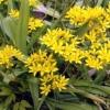 Декоративные луки (allium) - украшение садового участка