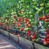 Делаем правильную теплицу для помидор своими руками: выбор материала и секреты ухода