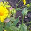 Дороникум - прекрасное украшение моего сада