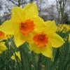 Два года не цветут нарциссы. Как стимулировать цветение?