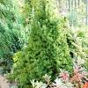 Ель коника - карликовая ель в дизайне сада