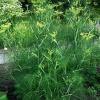 Фенхель – ближайший родственник укропа пахучего, полезные свойства, выращивание фенхеля