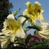 В каком месяце цветёт лилия?