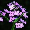 Гесперис, или вечерница, благоухающий цветок в украшении сада
