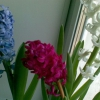 Посадила тюльпаны, нарциссы и гиацинты на выгонку.первый раз.вопрос внутри
