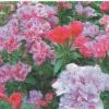 Годеция - однолетние травянистые растения семейства кипрейных, особенности, уход