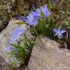 Хиондокса: размножение, уход и виды хионодоксы, хионодокса в культуре и в украшении сада