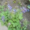 Хохлатка в весеннем саду